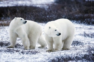 PHOTO - polar-bears-1665367_640